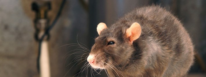 Protect Your Home and Family From Rodents and Other Wildlife