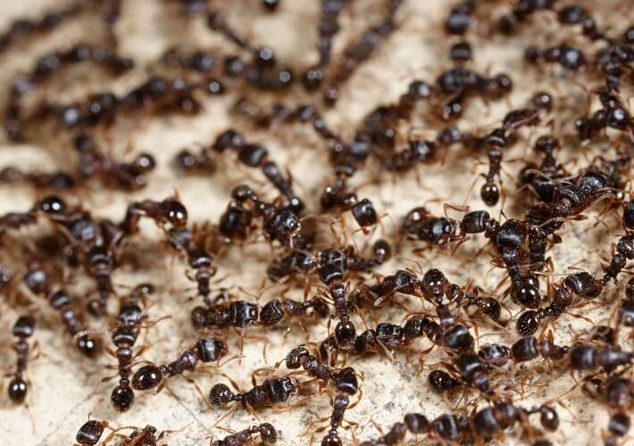 Ant Treatment and Prevention