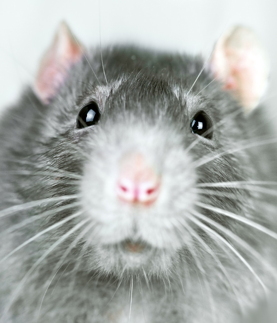 rodent-removal-and-exclusion-fairfax-va